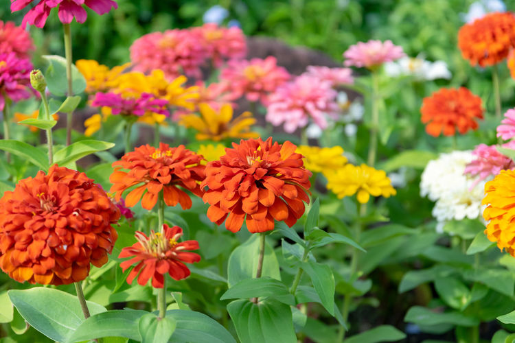 Zinnia flowers in the garden is a popular flower grown in the house and the place because many beautiful colors. Flowering Plant Flower Freshness Fragility Beauty In Nature Vulnerability  Petal Plant Growth Flower Head Inflorescence Close-up Focus On Foreground No People Orange Color Nature Plant Part Day Marigold Leaf Outdoors Zinnia Flowers
