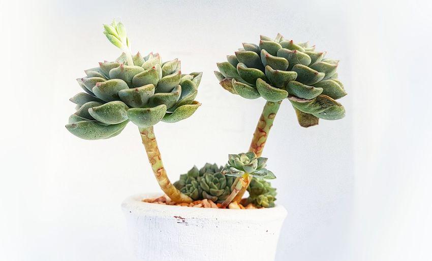 Succulent_Echeve