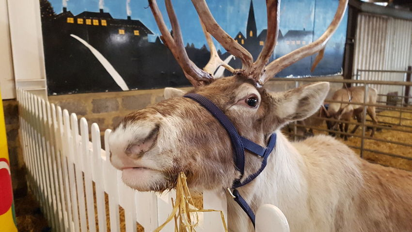 The Reindeer Centre Christmas 2017 Christmastime Christmas Around The World Christmas Time Christmas Spirit Outdoors Outdoor Photography Outdoor Pictures 2017 2017 Year 2017 Photo United Kingdom Great Britain England, UK Kent England Kent UK Travel Travel Photography Travelphotography Travel And Tourism One Animal Antler Mammal Animal Head  Animal Themes Stag Day No People Outdoors Domestic Animals Close-up