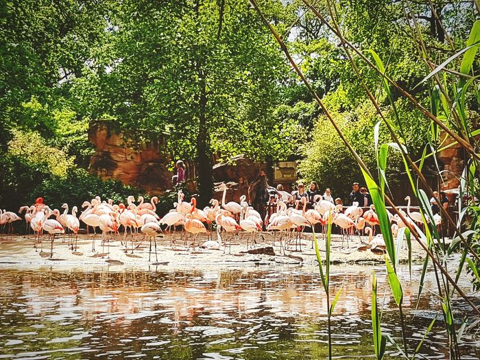 Flamingo Animals In The Wild Animal Themes Large Group Of Animals Animal Wildlife Bird Colony Nature Day Water Outdoors No People Tree Beauty In Nature Mammal Sarah7790 Hannover Zoo Pink Natur Grass Flamingo Deutschland