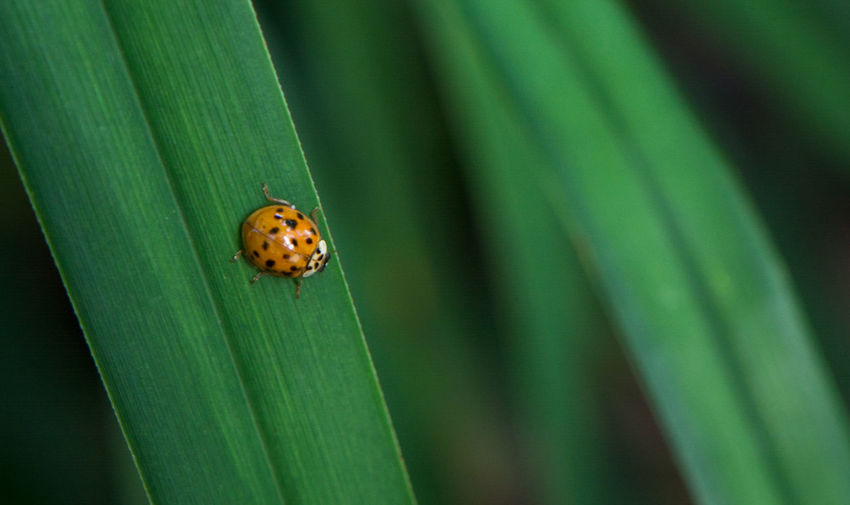 Animal Animal Themes Animal Wildlife Animals In The Wild Beauty In Nature Beetle Blade Of Grass Close-up Day Green Color Insect Invertebrate Ladybug Leaf Nature No People One Animal Outdoors Plant Plant Part Selective Focus Small