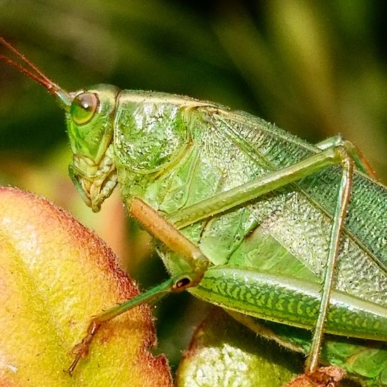 grasshopper close up Grasshopper Insect Close-up Animal Themes Green Color Leaf Vein Animal Antenna Blooming Growing