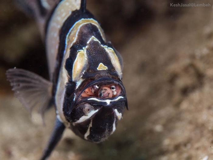 Bangai Cardinal Fish Fish With Egg Beauty In Nature Close-up Nature Sea Life UnderSea Underwater Macro Underwater Macro Photography