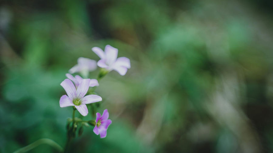 Flowering Plant Flower Vulnerability  Fragility Plant Freshness Beauty In Nature Petal Growth Close-up Flower Head Inflorescence No People Nature Day Selective Focus Outdoors Focus On Foreground Pink Color Purple Small