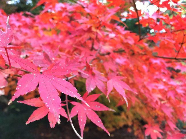 新宿御苑 新宿 紅葉 Japan Shinjuku Iphone6 ShotOniPhone6 IPhon6で撮影