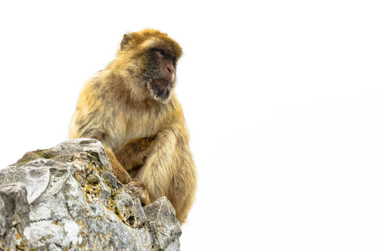Barbary ape in cloudy sky on rock. Animal Wildlife Animals In The Wild Baboon Barbary Macaques Care Copy Space Gibraltar Mammal Monkey Nature No People One Animal Primate Rock Rock - Object Sitting Solid Studio Shot Vertebrate White Background