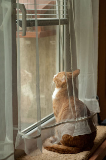 Where is the birds? Cat Feline Domestic Cat Mammal Animal Themes Pets Domestic One Animal Domestic Animals Animal Window Curtain Vertebrate No People Indoors  Glass - Material Transparent Home Interior Sitting Looking Whisker Ginger Cat