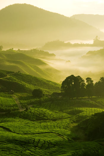 Agriculture Beauty In Nature Environment Field Green Color Growth Idyllic Land Landscape Mountain Nature No People Outdoors Plant Plantation Rolling Landscape Rural Scene Scenics - Nature Sky Sunset Tea Crop Tranquil Scene Tranquility Tree