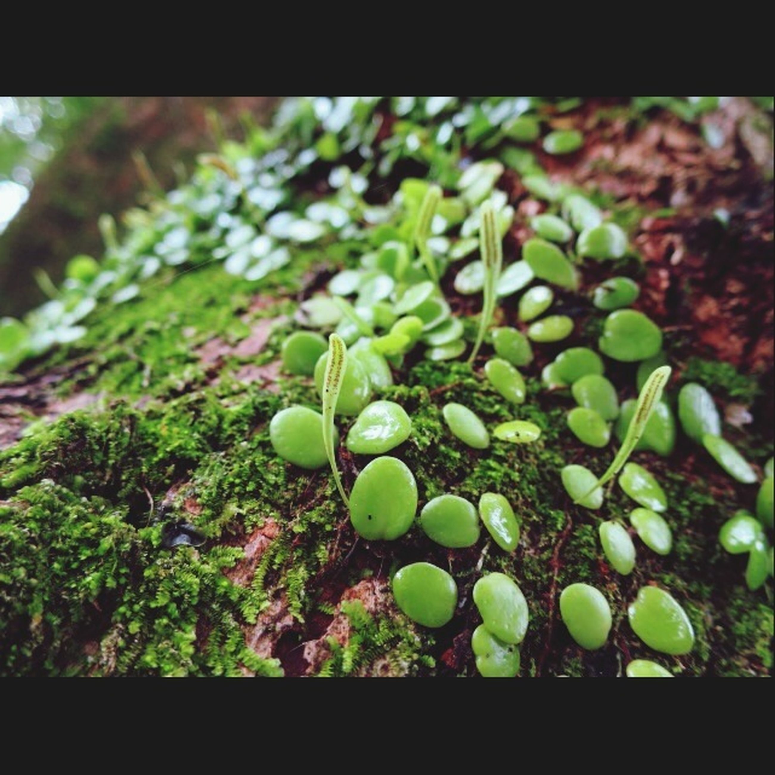 green color, transfer print, growth, freshness, close-up, plant, auto post production filter, nature, growing, leaf, focus on foreground, food and drink, fruit, selective focus, green, healthy eating, day, food, outdoors, beauty in nature