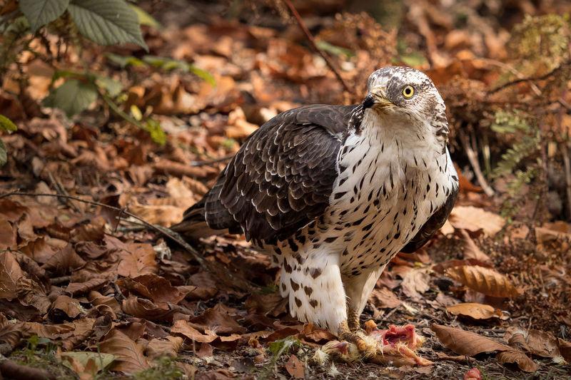 eating buzzard Eating National Winter Bird Buzzard  Forest Leaf Park Wildlife EyeEmNewHere