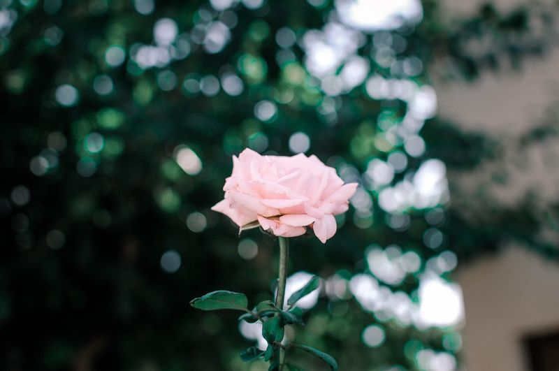 Cyprus Rose Grunge Vintage Garden Roses Rose - Flower Flower Pink Color No People Nature Freshness First Eyeem Photo