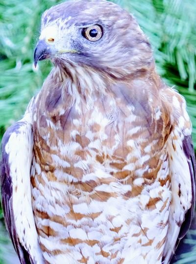 Broad-Winged Hawk Broad-winged Hawk Broad Winged Hawk Hawk Hawks Bird Of Prey Bird Birds Bird Photography Birds Of EyeEm  Close-up Close Up Closeup Macro Macro Photography Macrophotography EyeEm EyeEm Gallery EyeEm Best Shots EyeEmBestPics EyeEm Best Shots - Nature Eyeemphotography EyeEm Masterclass EyeEmbestshots EyeEm Birds Eyeem Photography