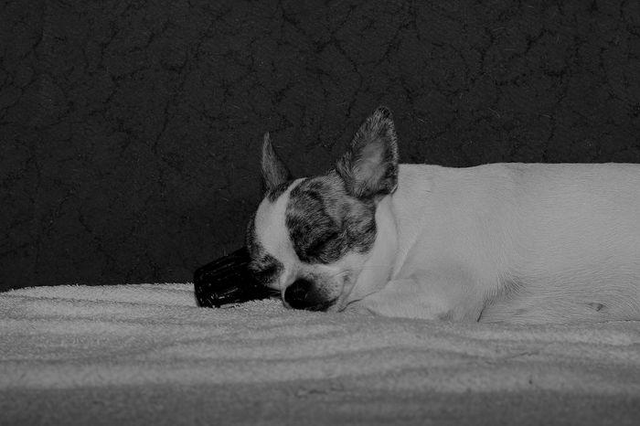 Blackandwhite Cihuahua Dog Photography Sleeping Streetphotography