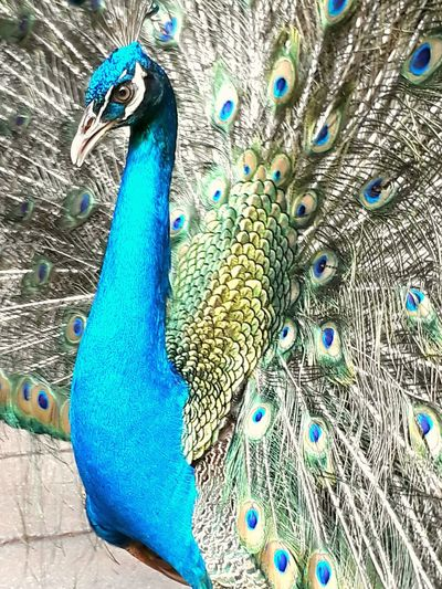 Indian Peafowl Peacock Bird Blue Animal Themes Peacock Feather One Animal Animals In The Wild Close-up Beauty In Nature Nature Fanned Out No People Wildlife & Nature Wilderness Wildlife Peacock Blue Peacock Portrait Malaysia Truly Asia EyeEmNewHere