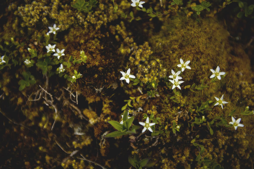 Botanical series: Micrology Alpine Arenaria Serpyllifolia Green Lichen Micro Nature Plants Quendel-Sandkraut Alps Beauty In Nature Blooming Botanical Close-up Flower Flower Head Flowers Fragility Freshness Growth Micrology Mini Moos Moss Mountain Plants Plant Thyme-leaved Sandwort