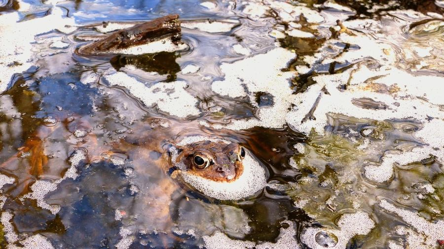 Animal One Animal Animal Themes Animal Wildlife Vertebrate Animals In The Wild High Angle View No People Reptile Day Water Close-up Nature Reflection Lake Animal Body Part Amphibian Animal Head  Outdoors Swimming Springtime EyeEm Best Shots - Nature EyeEm Best Shots Frog Eyes EyeEm Nature Lover