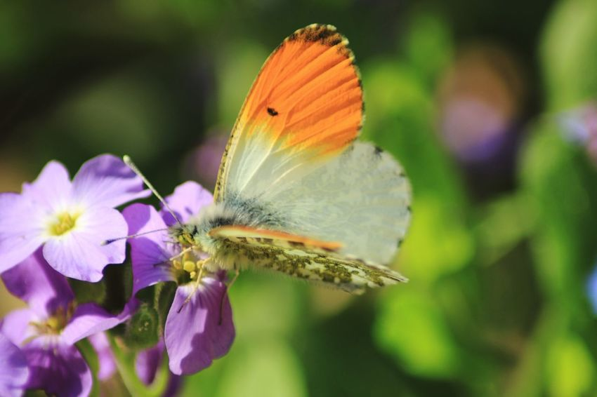 Natural Beauty Natural Light Beauty In Nature Colours Of Nature In My Garden Orange Color Spread Wings Perching Pollination Butterfly - Insect Insect Butterfly Animal Wing Pollen