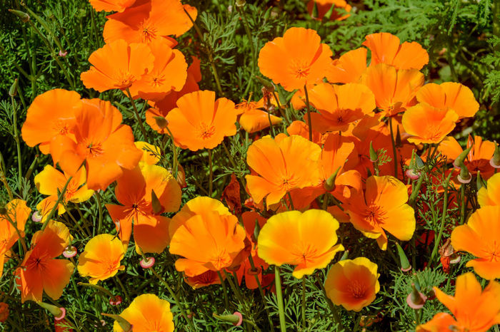 Beauty In Nature Black-eyed Susan Blooming California Poppies Close-up Day Field Flower Flower Head Fragility Freshness Growth Nature No People Orange Color Outdoors Pansy Petal Plant Vibrant Color Yellow