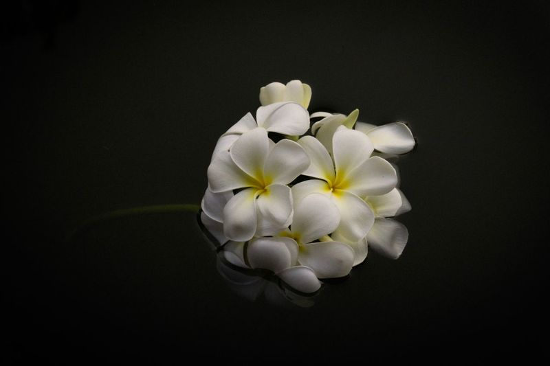Flower bouquet Float White Abstract Backgrounds On Water Concept Plumeria Flower Freshness Plant Flowering Plant Inflorescence Fragility Vulnerability  Still Life Growth Beauty In Nature Petal Close-up Studio Shot Nature No People White Color High Angle View Black Background
