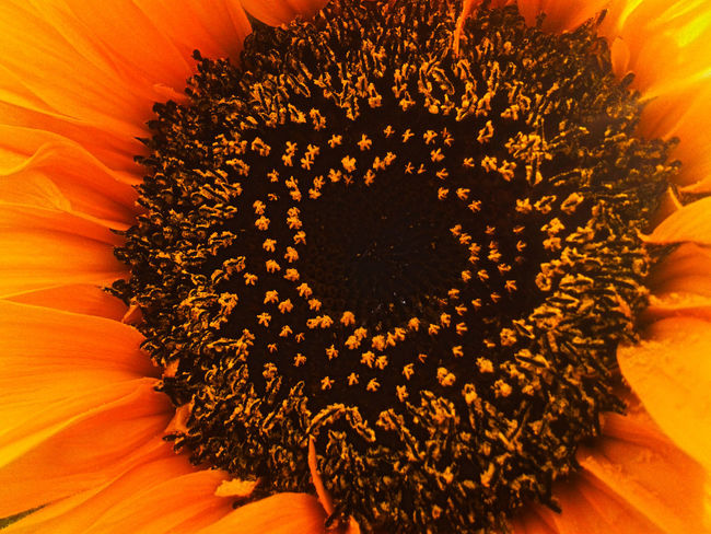 Orange Color Close-up No People Flower Sunflower Beauty Nature Fragility Beauty In Nature Flower Head Freshness EyeEm Best Shots - Nature Nature Makes Me Smile Nature Photography Nature_perfection Nature_collection Nature Is Art See The Light Be. Ready. Nature Sunflower🌻 Sunflower Head Flower Photography Flowers,Plants & Garden Flowers_collection
