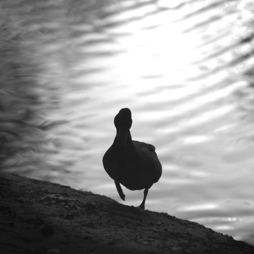 Duck standing by lake