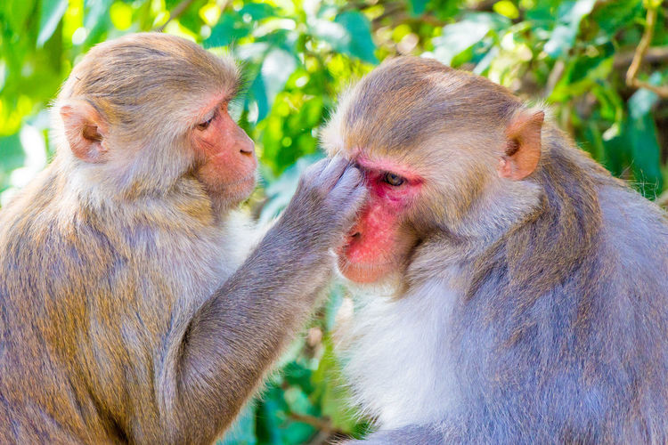 Rhesus Macaque Animal Family Animal Themes Animal Wildlife Animals In The Wild Care Day Focus On Foreground Grooming Group Of Animals Mammal Monkey Nature Primate Togetherness Two Animals Vertebrate Young Animal