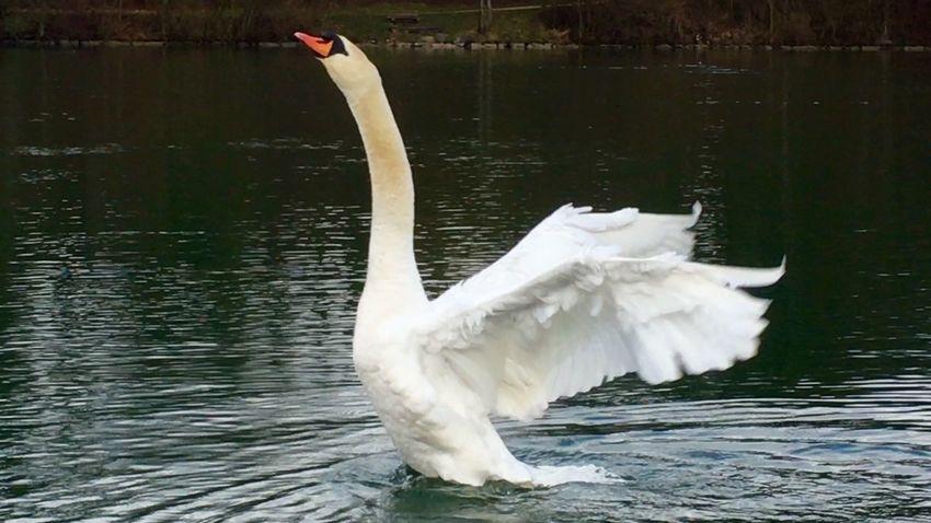 Swans ❤ Swans Schwäne Schwan  Schwanenfamilie Swan Swantastic Showcase: February