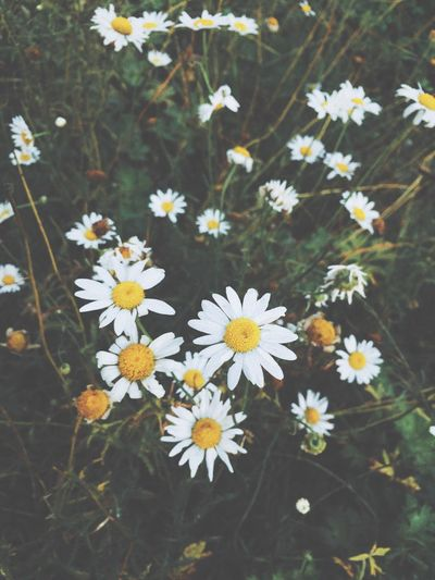Flowering Plant Flower Freshness Plant Fragility Vulnerability  Beauty In Nature No People White Color Close-up Inflorescence Flower Head High Angle View Pollen Outdoors Nature Day Daisy Petal Growth