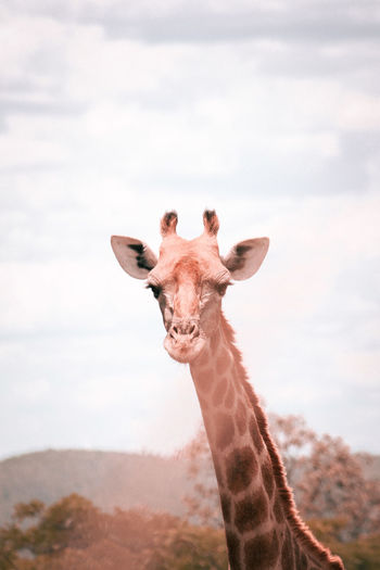 A mother giraffe in monate private game reserve situated in thabazimbi, south africa.