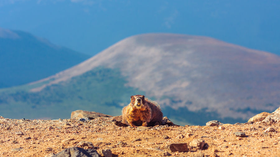 Marmot at mountain on sunny day