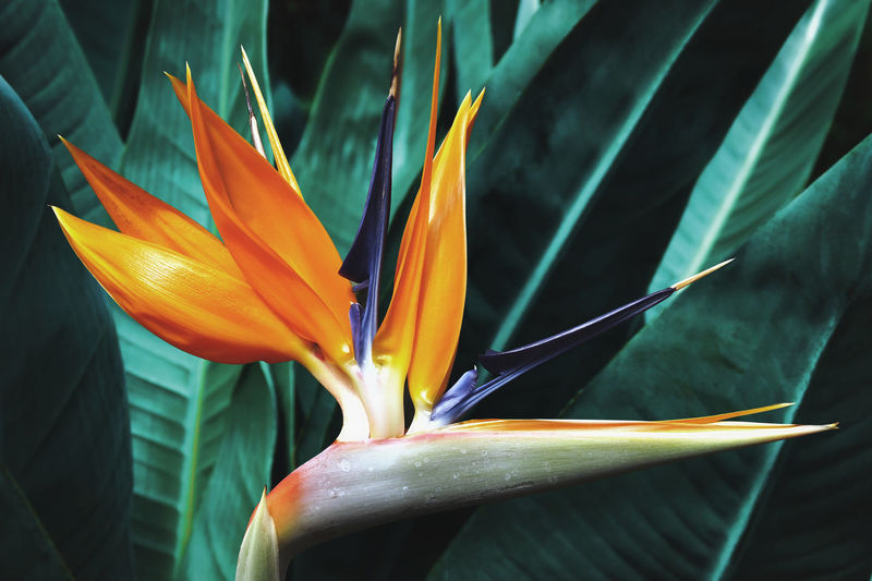 Blooming bird of paradise flower with dark foliage natural background