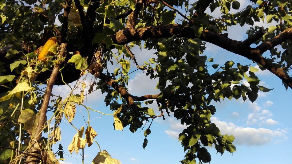 Yellow Cucumber On Vine Cucumber For Seeds Yellow Cucumber Cucumber Vine Cucumber Vines On Tree VERONiCA Photography WOLFZUACHiV Photography Wolfzuachiv Veronica Ionita Veronica IONITA Photography Veronica WOLFZUACHiV VERONiCA WOLFZUACHiV Photography Slowfood Ionita Veronica Ionita Veronica Photography Ionita Photography Tree Leaf Nature Fruit Branch Outdoors Day Sky Beauty In Nature Low Angle View No People Close-up Freshness