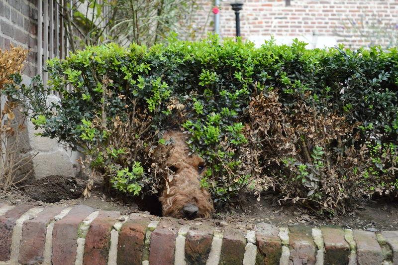 Airedale Airedaleterrier Dog Hidding Kiekeboe Pets Verstoppen