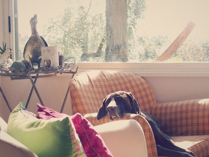 German short-haired pointer relaxing on sofa at home