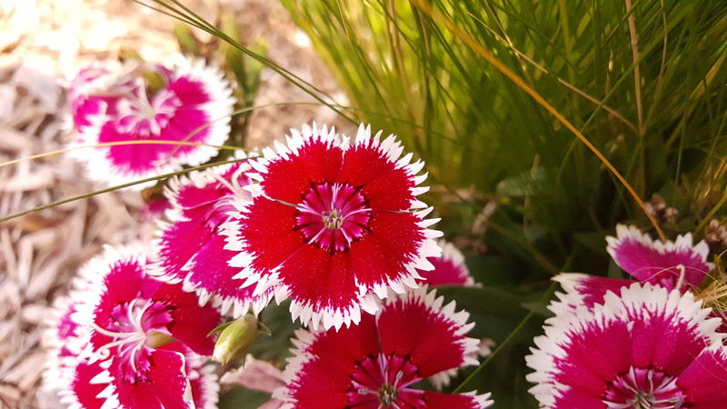 Sweet William flower. No Filter, No Edit, Just Me Fountain, Colorado Full Colors  Colorful Blooming Blossom Flowers, Nature And Beauty
