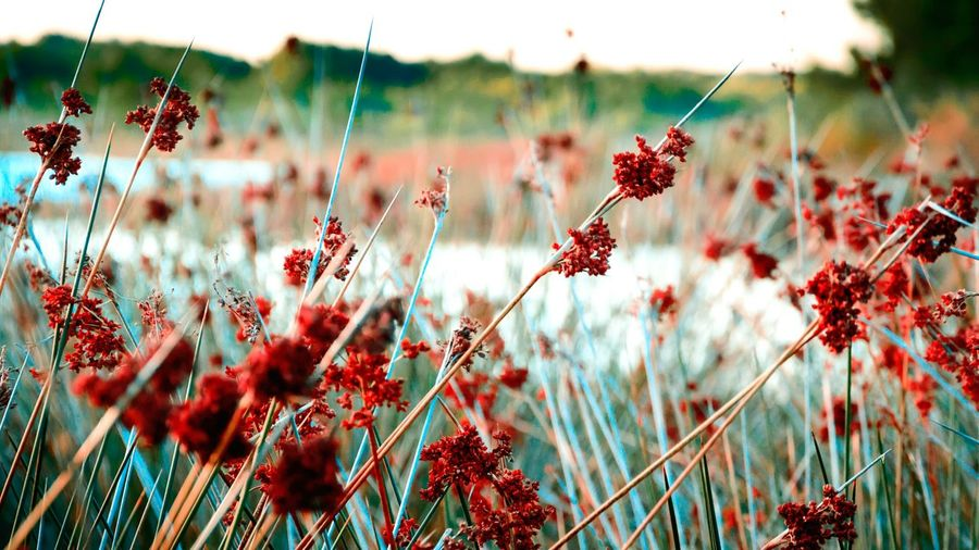 Red Flowers Blooming On Field