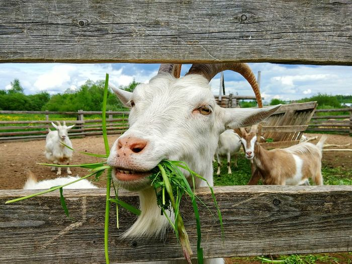Close-up of goat eating