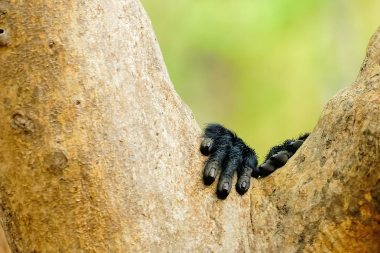 Close-up of gorilla hands on tree trunk
