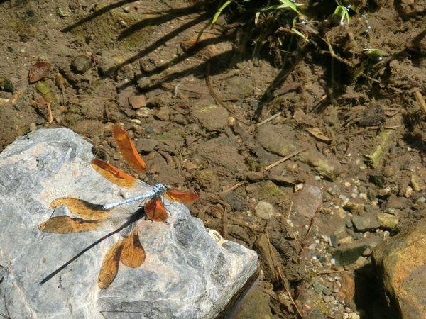 小川 トンボ 蜻蛉 影 Stream Dragonfly Shadow