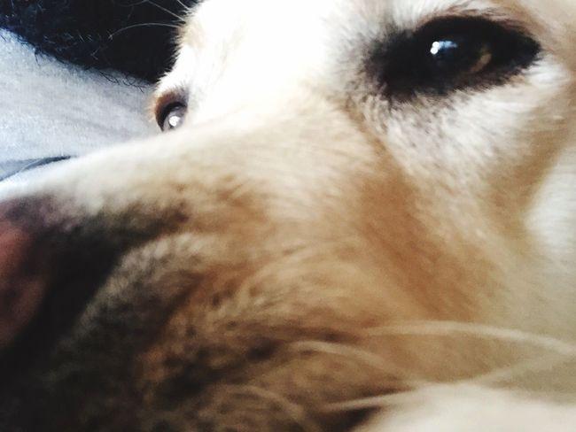Miltonbiscuit Labrador Ilovemydog