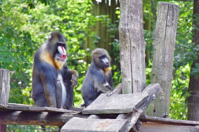Alpha male mandrill with his female Colorful Animal Alpha Male Baboon Mandrillus Sphinx Old World Monkey Animal Animal Themes Animal Wildlife Animals In The Wild Primate Mammal Monkey Nature Two Animals Group Of Animals