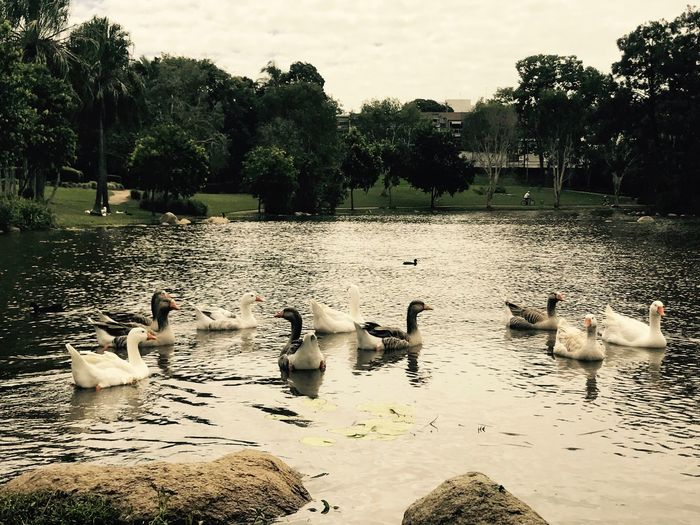Swans Lake Nature Day No People Togetherness Black And White Swans Beautiful Animals