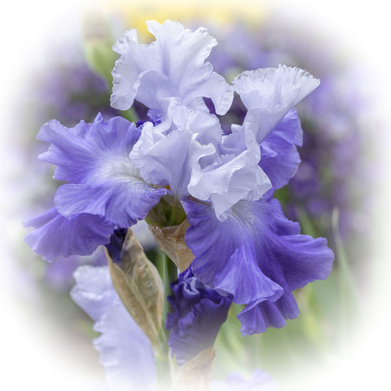 This regal, blue/purple bearded iris is a focal point for any garden. The photo is vignetted in white with sharp focus on the petals and the graceful curves. Bearded Iris Beauty In Nature Blue Botany Close-up Day Flower Flower Head Flowering Plant Fragility Freshness Gardeb Graceful Growth Inflorescence Iris - Plant Nature No People Outdoors Petal Plant Purple Selective Focus Sunshine Vulnerability