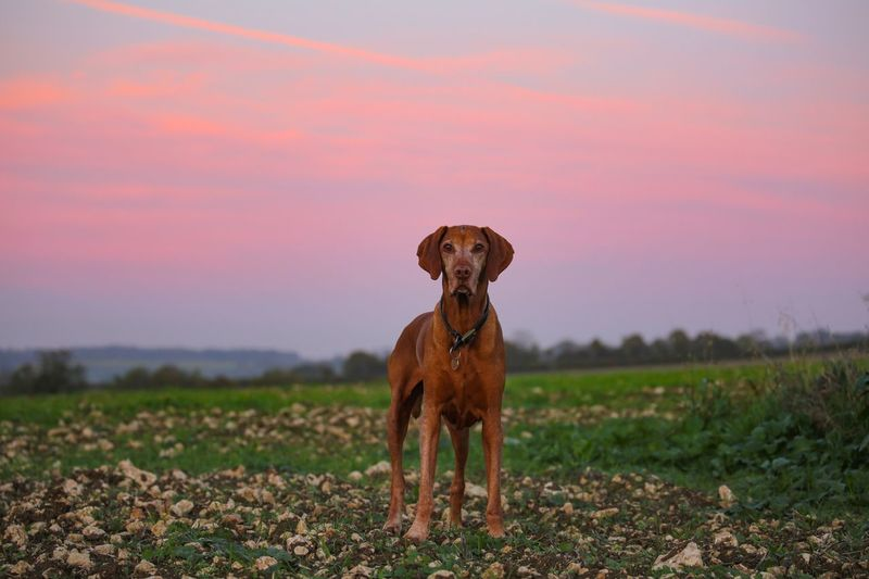I'm in the pink... :) Vizsla One Animal Animal Themes Pets Domestic Domestic Animals Animal Mammal Canine Sky Dog Nature Grass No People Land Portrait Plant Field Environment Sunset