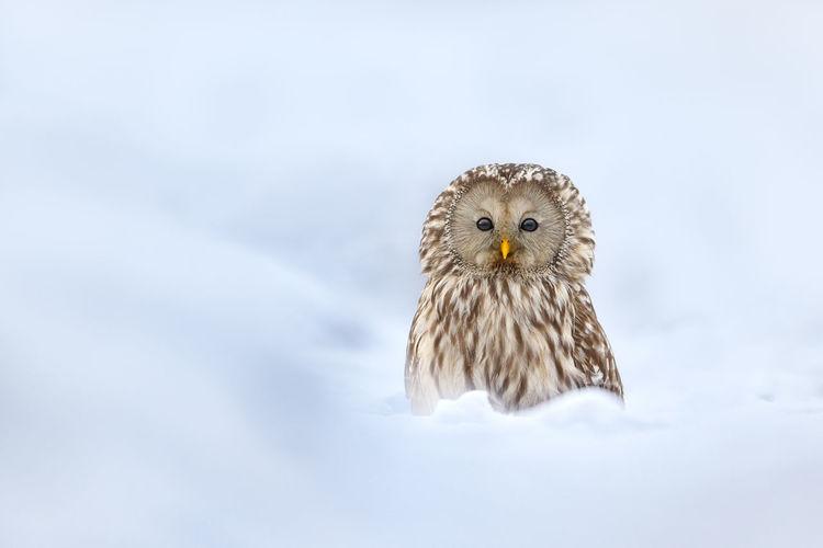 Portrait Of Ural Owl On Snow