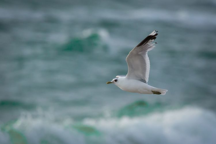 Bird Animal Themes Animals In The Wild One Animal Seagull Nature Flying Spread Wings Focus On Foreground Animal Wildlife Day No People Outdoors Water Close-up