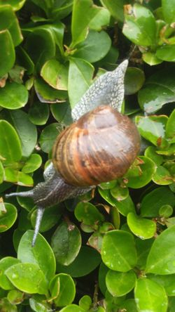 Wet Day Rainy Day Wet Rainy Rain Snail Shell Snail Shell Swirly Swirl Slimy Snails Slimy Nature On Your Doorstep Nature Photography Nature_collection Nature Snail Collection Leaves Green Leaves Bush Bushes Tentacles Apex Mollusca Gastropoda