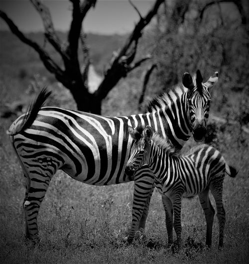 #parental Animal Markings Animal Themes Animal Wildlife Animals In The Wild Day Grass Mammal Mother & Daughter Nature No People Outdoors Safari Safari Animals Smallandlarge Stag Standing Striped Tree Zebra
