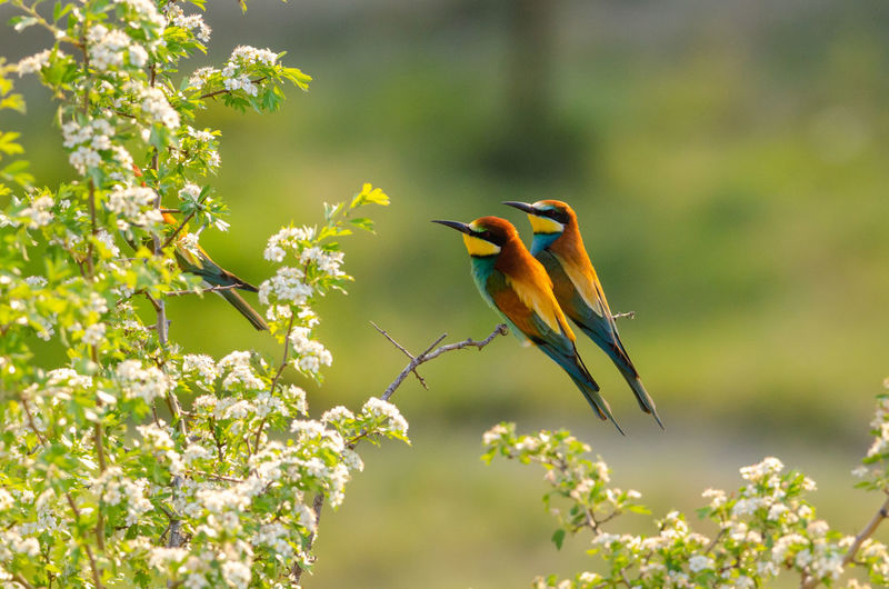 Bee-eaters perching on plant