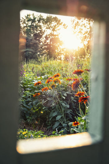 Close-up of plants against window during sunset